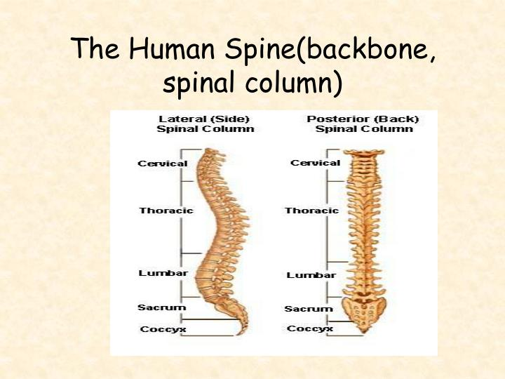 The Human Spine(backbone, spinal column)