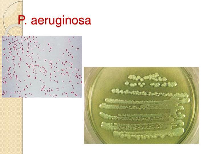 P. aeruginosa