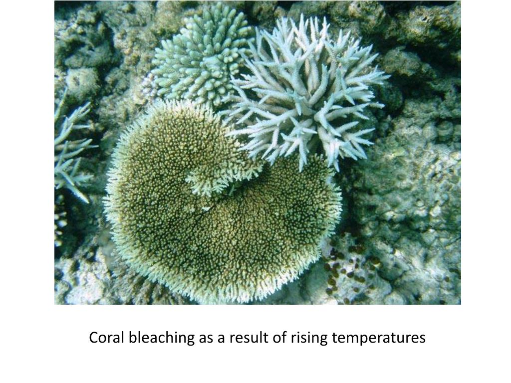 Coral bleaching as a result of rising temperatures