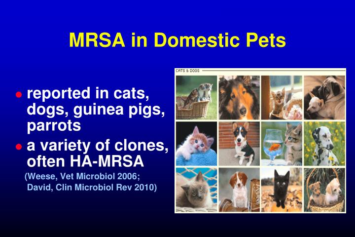 MRSA in Domestic Pets