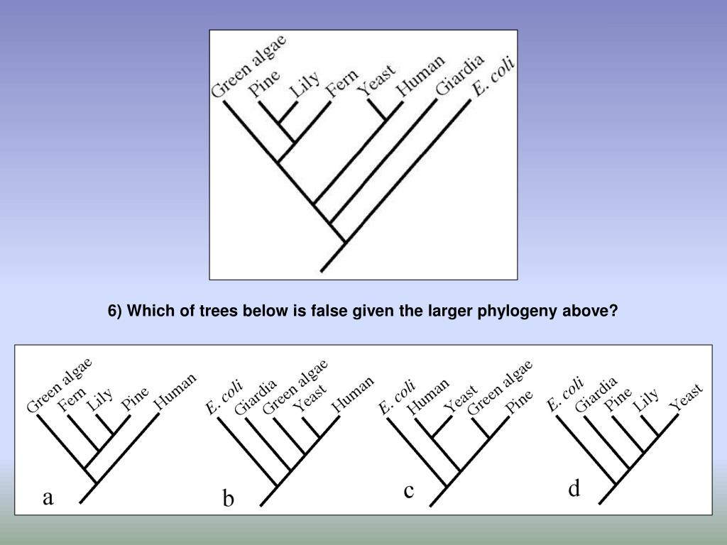 6) Which of trees below is false given the larger phylogeny above?
