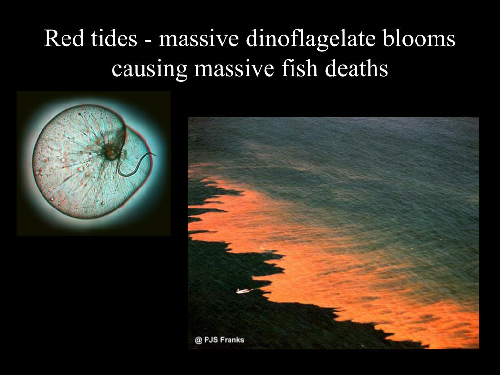 Red tides - massive dinoflagelate blooms causing massive fish deaths