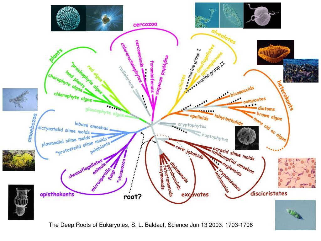 The Deep Roots of Eukaryotes, S. L. Baldauf, Science Jun 13 2003: 1703-1706