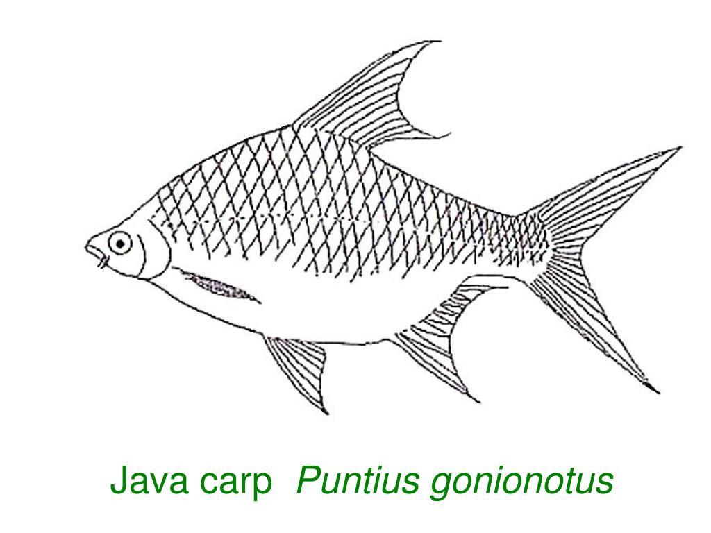 Java carp