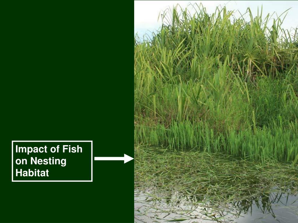 Impact of Fish on Nesting  Habitat