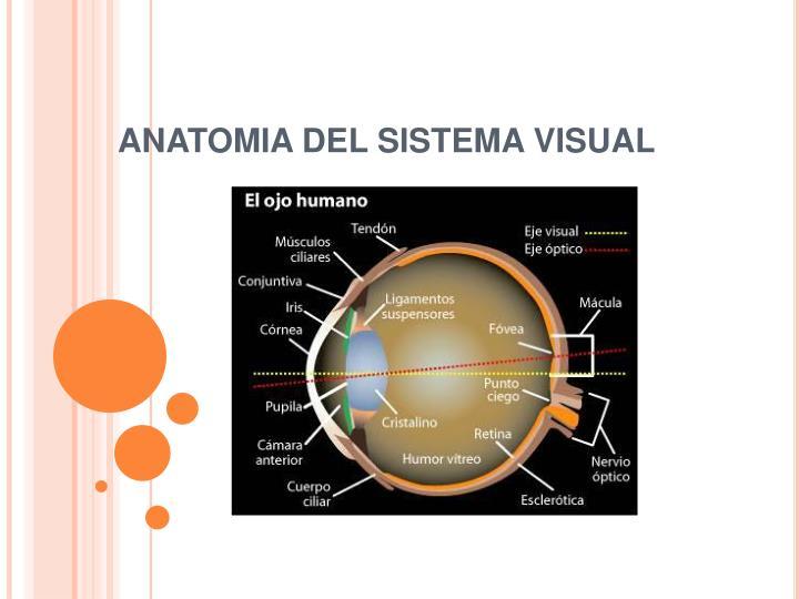 PPT - EL SENTIDO DE LA VISTA PowerPoint Presentation - ID:969631