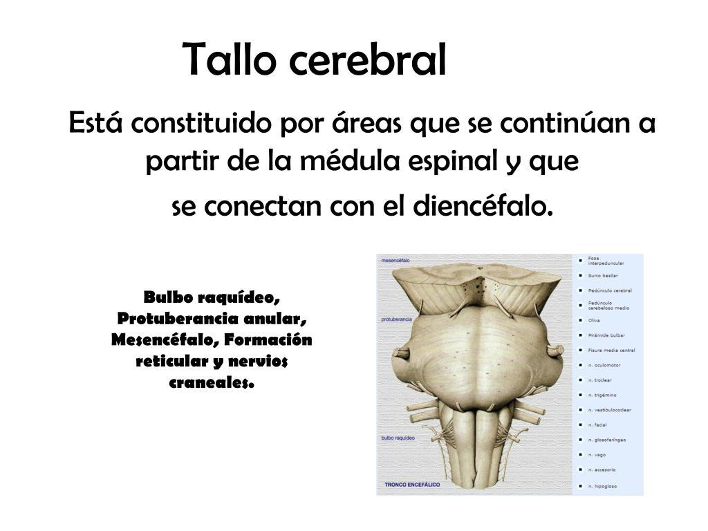 PPT - Tallo cerebral PowerPoint Presentation - ID:971941