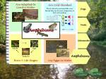 amphibians34