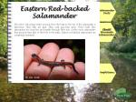 eastern red backed salamander