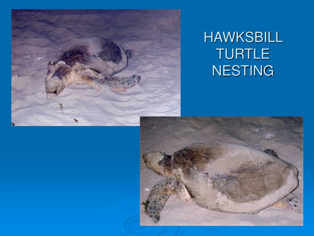 HAWKSBILL TURTLE NESTING