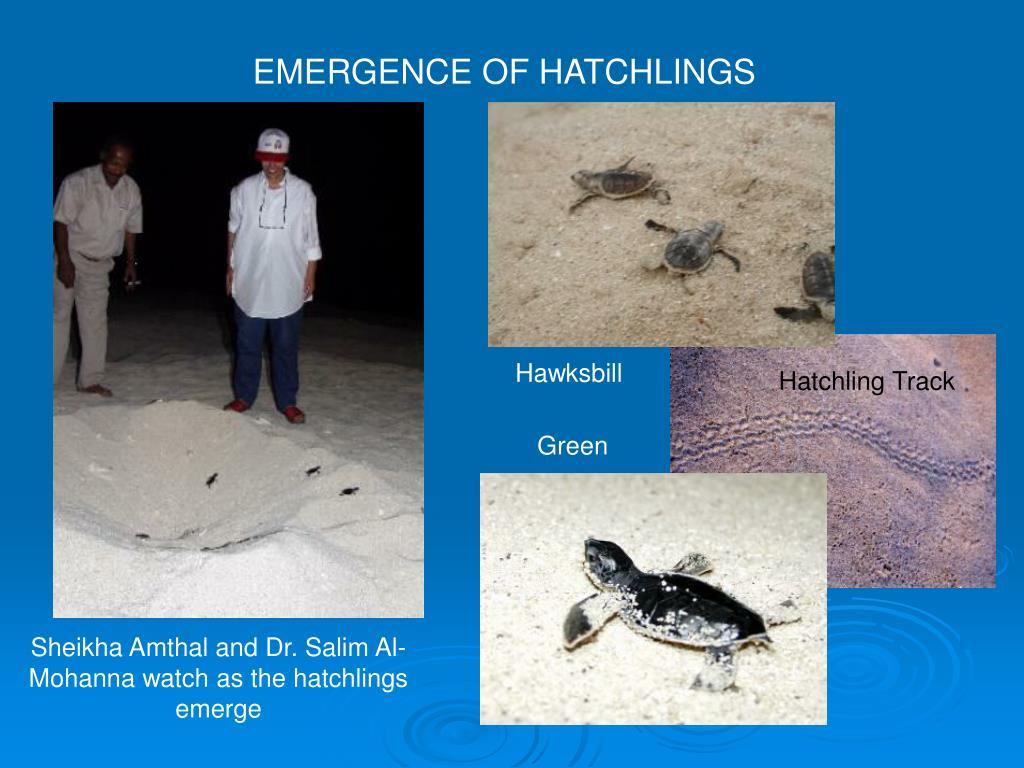 EMERGENCE OF HATCHLINGS