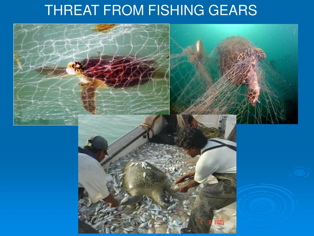 THREAT FROM FISHING GEARS