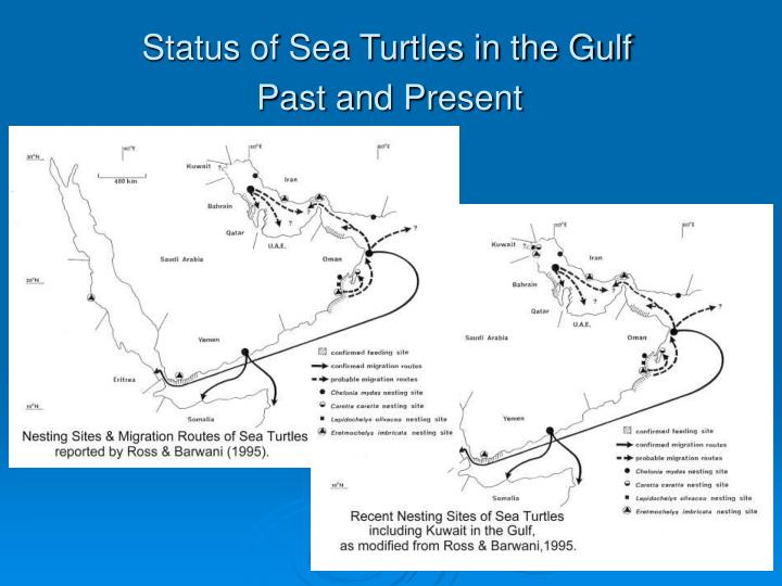 Status of sea turtles in the gulf past and present