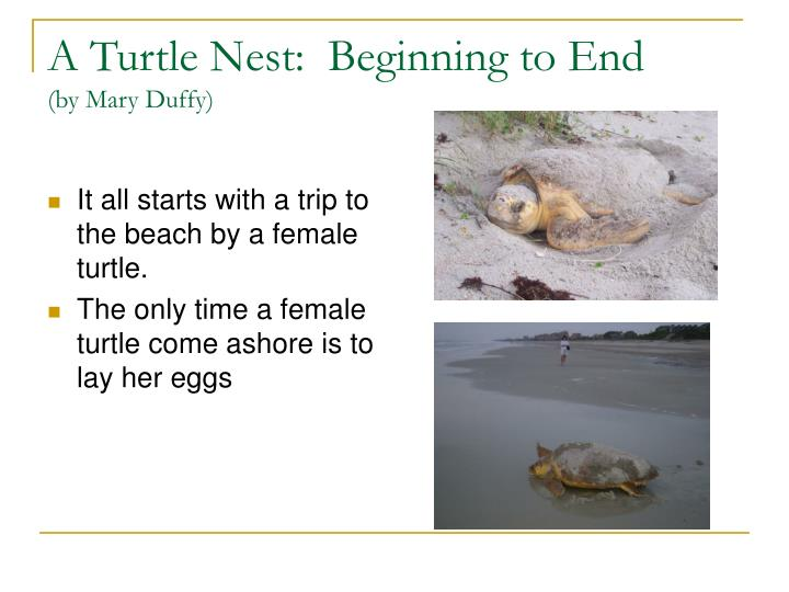 A turtle nest beginning to end by mary duffy