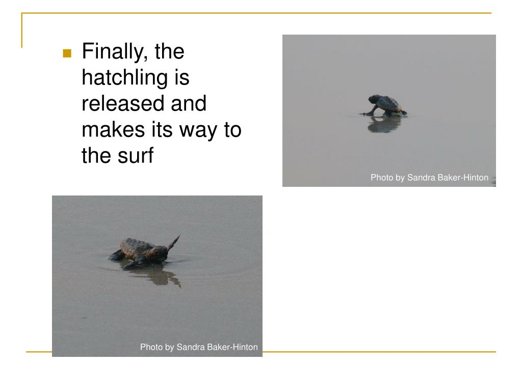 Finally, the hatchling is released and makes its way to the surf