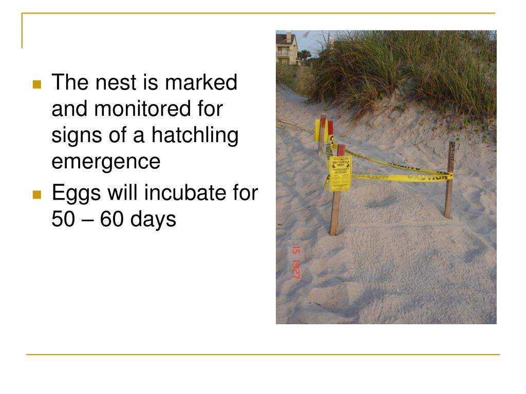 The nest is marked and monitored for signs of a hatchling emergence