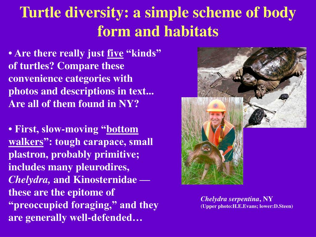 Turtle diversity: a simple scheme of body form and habitats