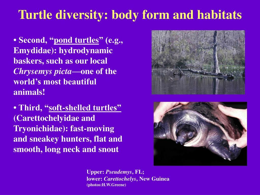 Turtle diversity: body form and habitats