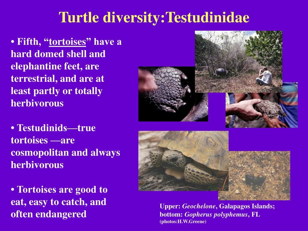 Turtle diversity:Testudinidae