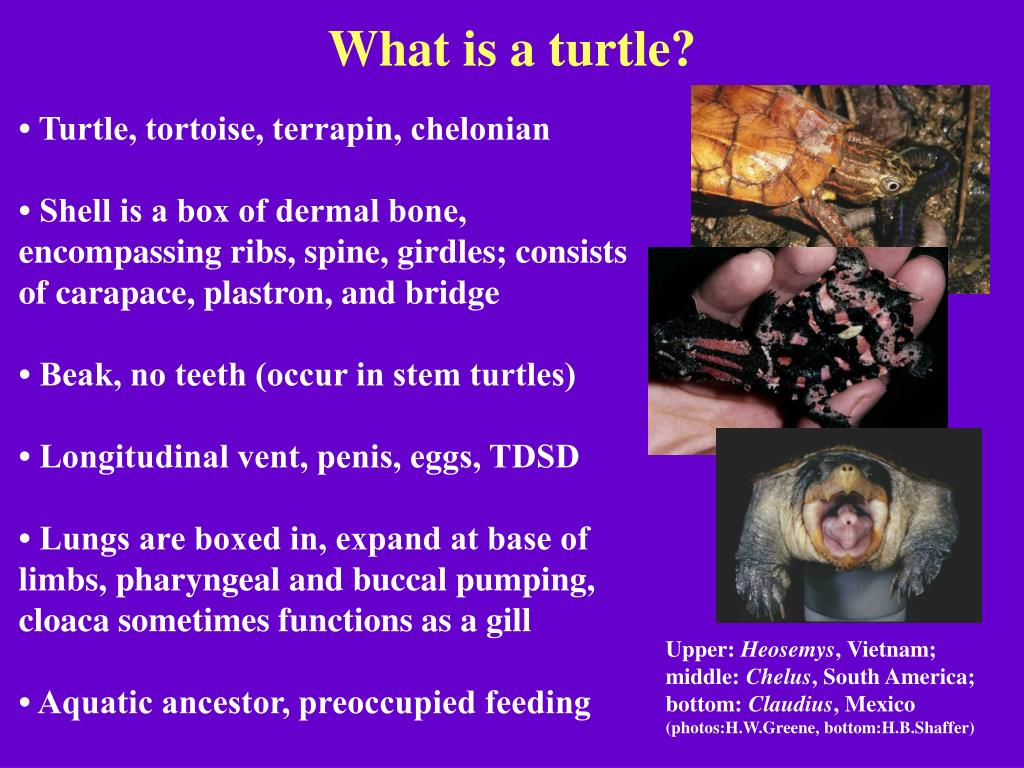 What is a turtle?