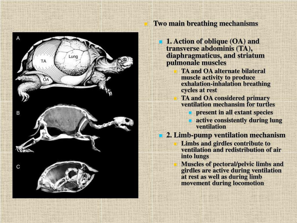 Two main breathing mechanisms