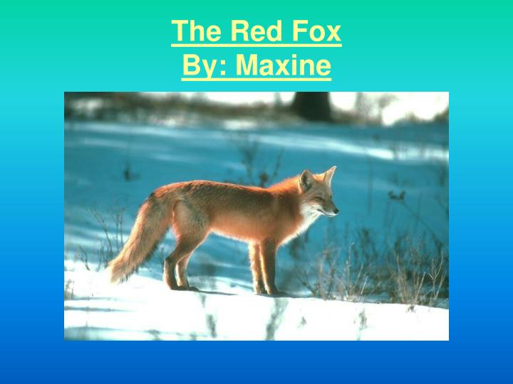 the red fox by maxine n.