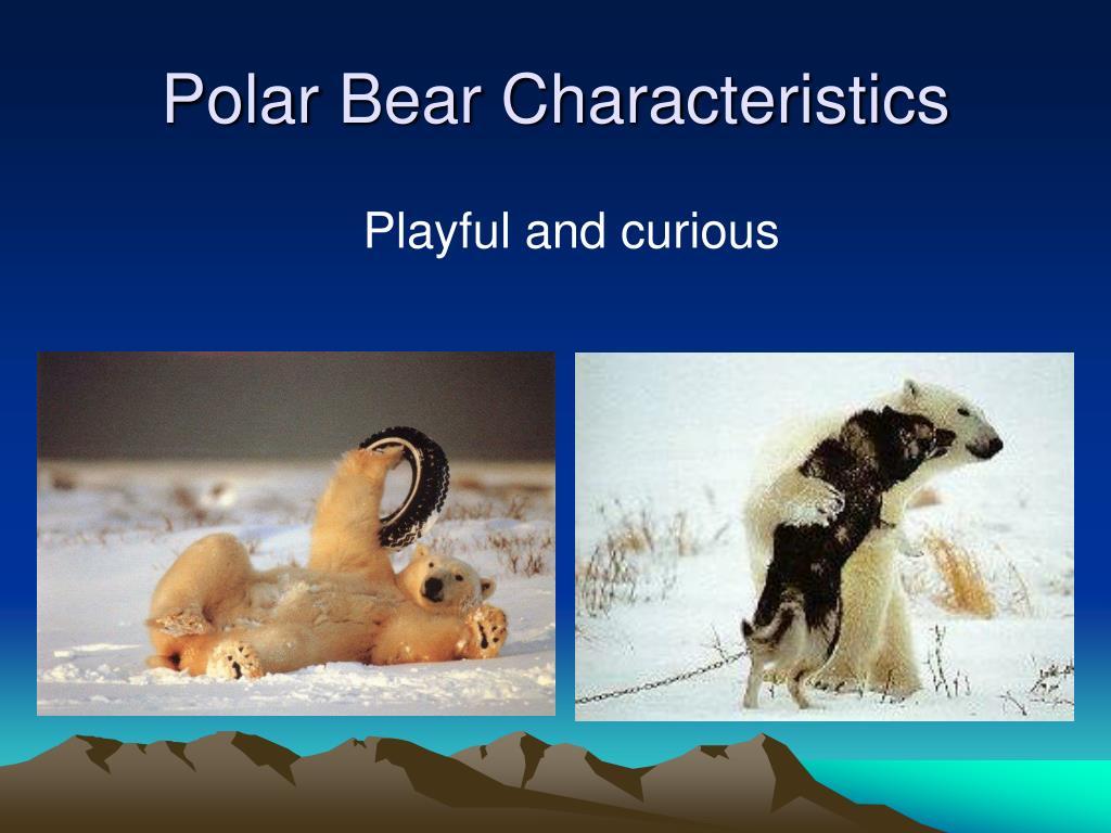 Polar Bear Characteristics