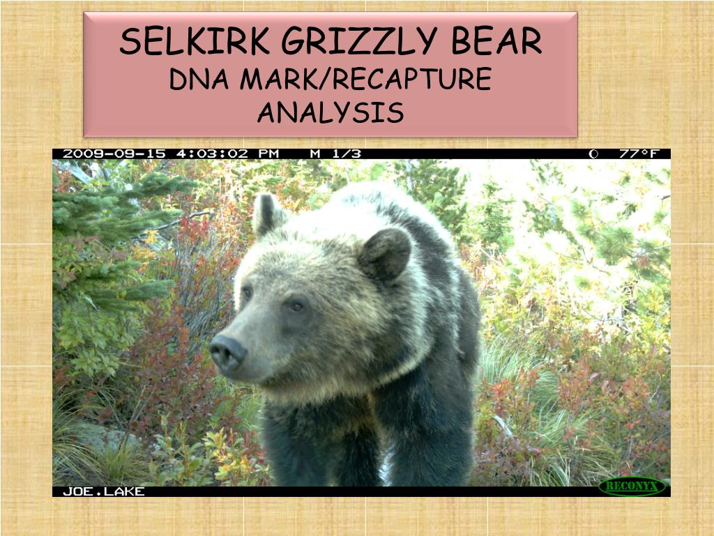 selkirk grizzly bear dna mark recapture analysis l.