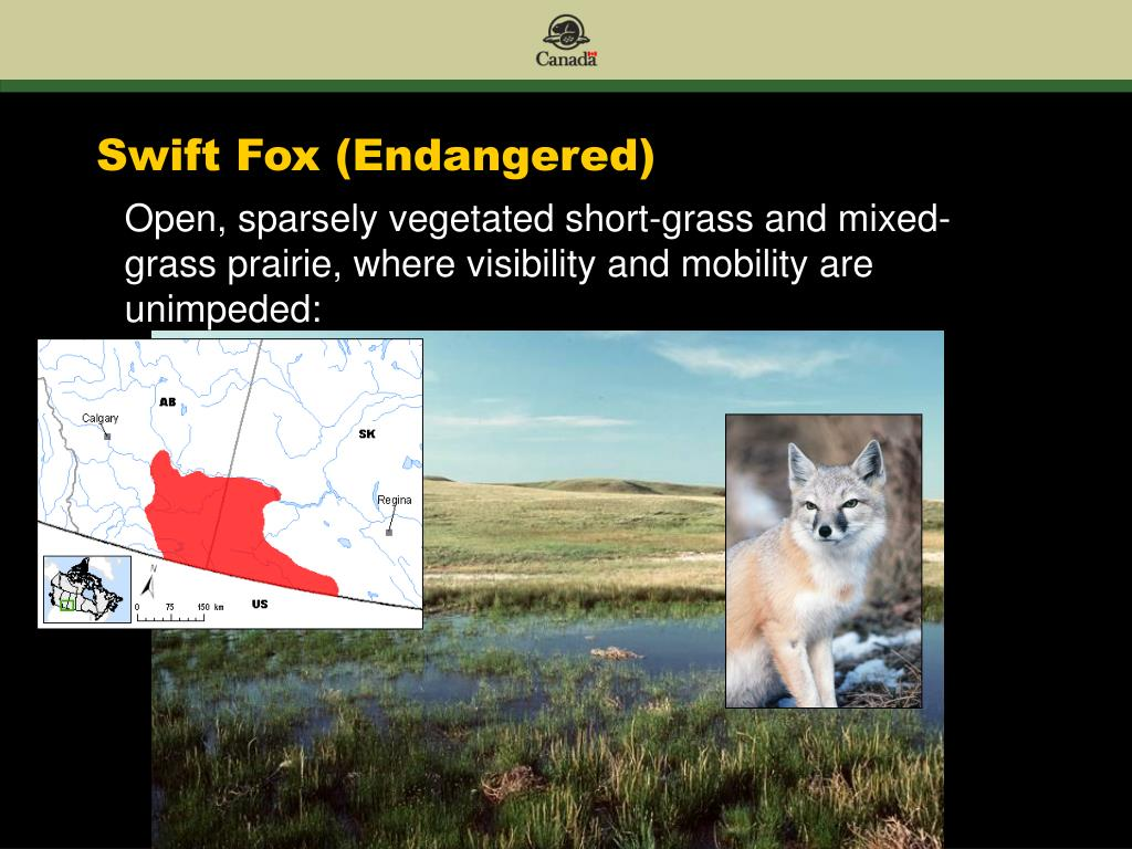 Swift Fox (Endangered)