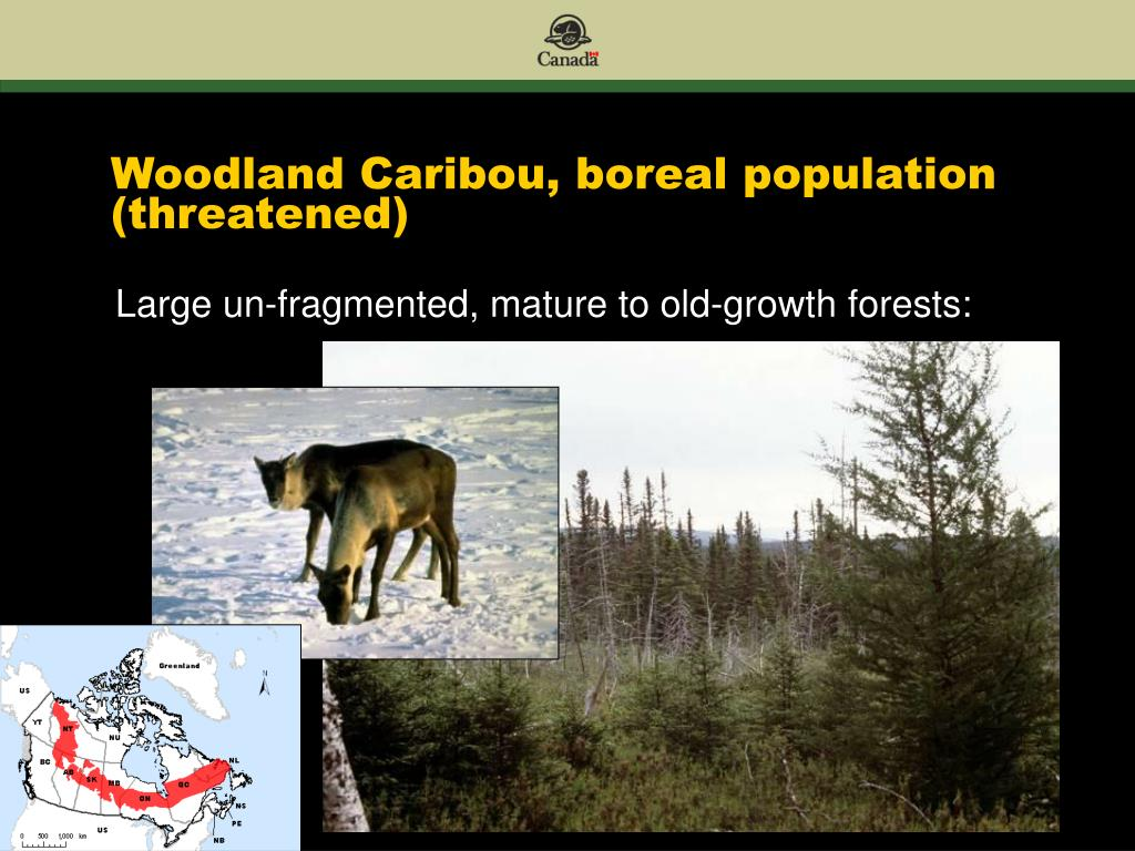 Woodland Caribou, boreal population (threatened)