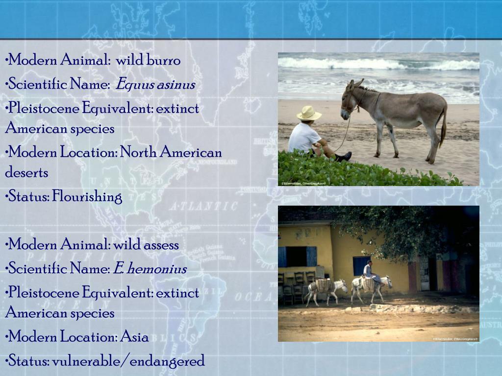 Modern Animal:  wild burro