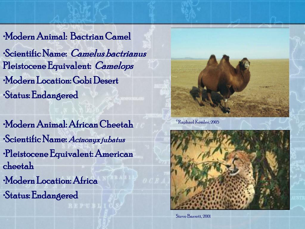 Modern Animal:  Bactrian Camel