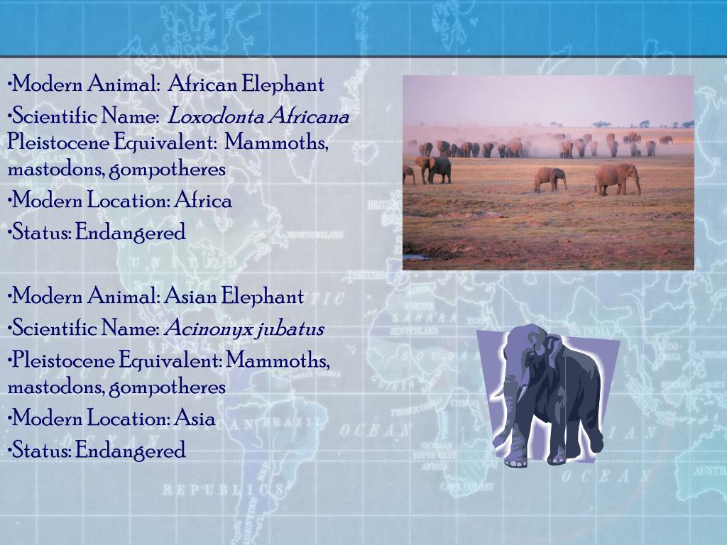 Modern Animal:  African Elephant