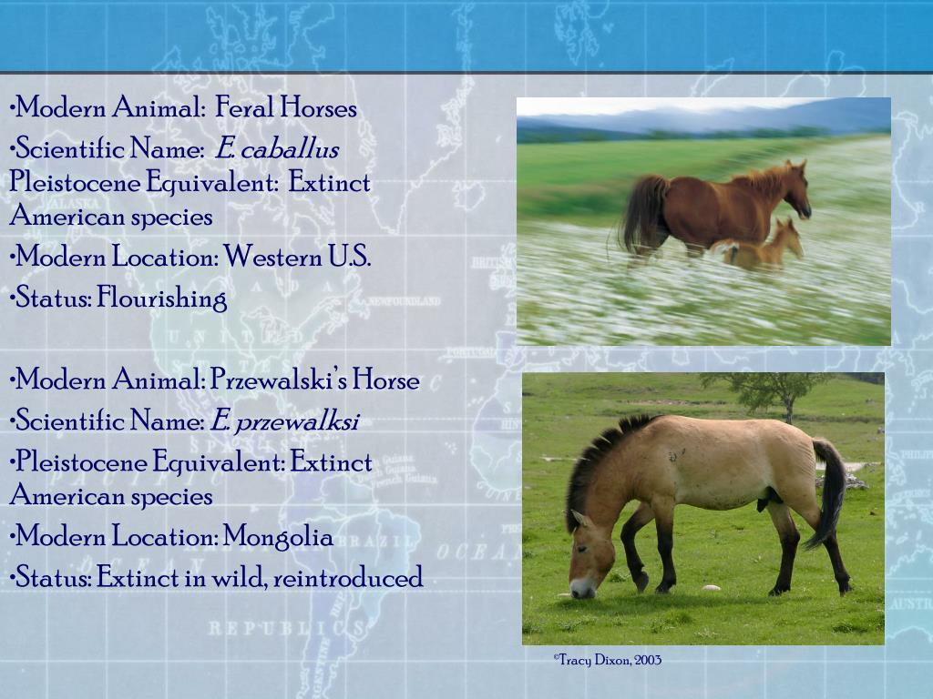 Modern Animal:  Feral Horses