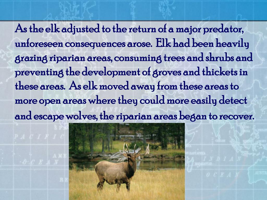 As the elk adjusted to the return of a major predator, unforeseen consequences arose.  Elk had been heavily grazing riparian areas, consuming trees and shrubs and preventing the development of groves and thickets in these areas.  As elk moved away from these areas to more open areas where they could more easily detect and escape wolves, the riparian areas began to recover.