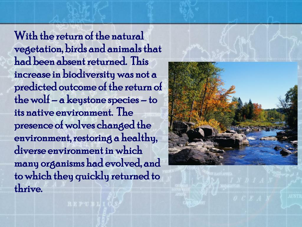 With the return of the natural vegetation, birds and animals that had been absent returned.  This increase in biodiversity was not a predicted outcome of the return of the wolf – a keystone species – to its native environment.  The presence of wolves changed the environment, restoring a healthy, diverse environment in which many organisms had evolved, and to which they quickly returned to thrive.