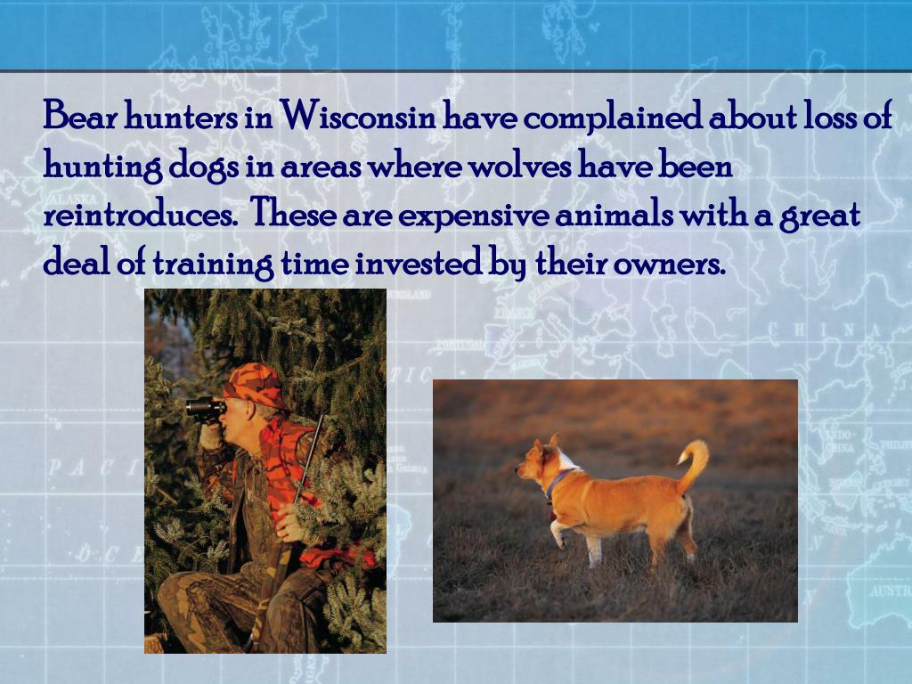 Bear hunters in Wisconsin have complained about loss of hunting dogs in areas where wolves have been reintroduces.  These are expensive animals with a great deal of training time invested by their owners.