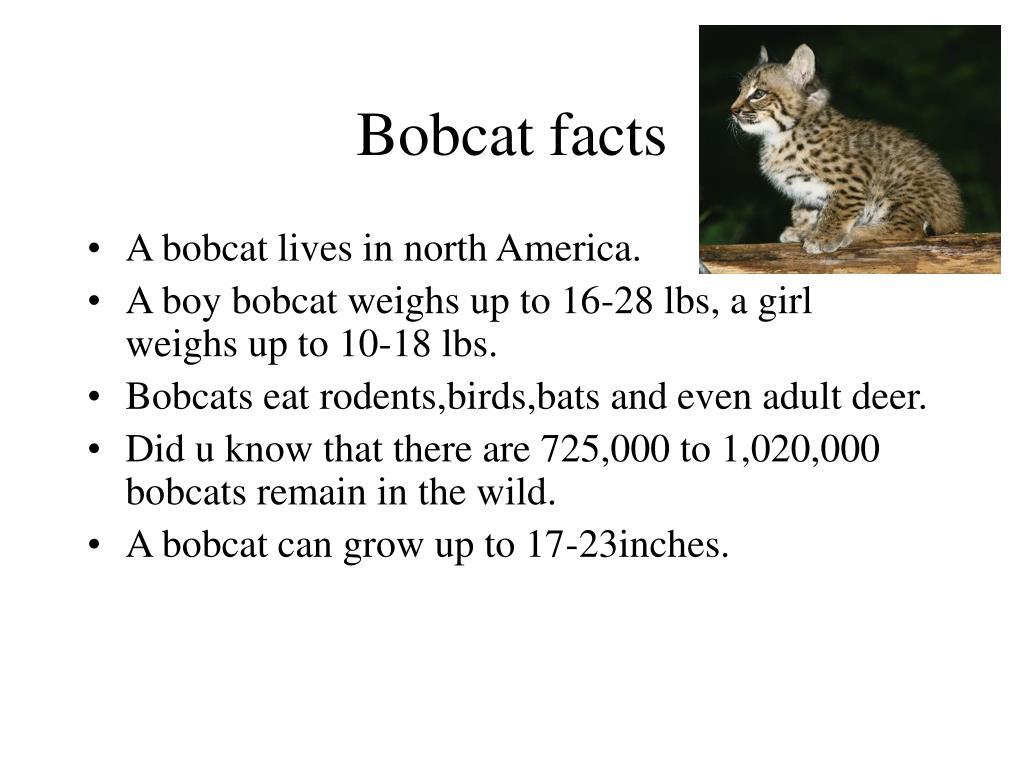 Bobcat facts