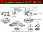 cryptosporidium parvum hominis life cycle