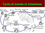 cycle of events in intestines