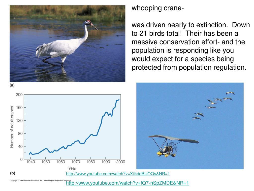 whooping crane-