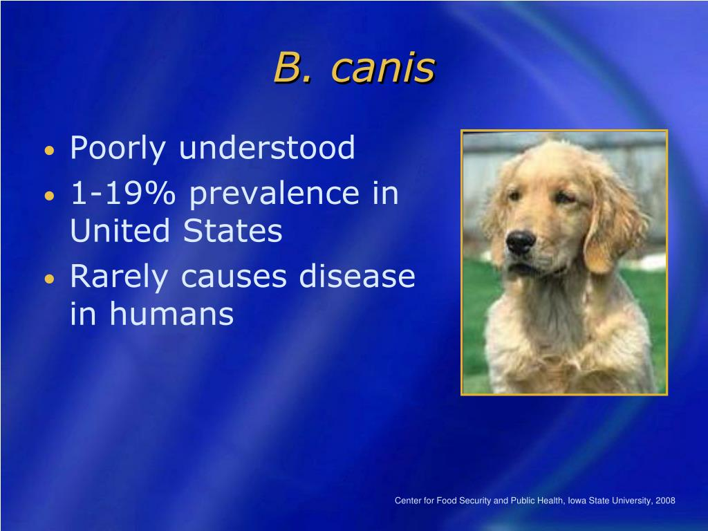 B. canis
