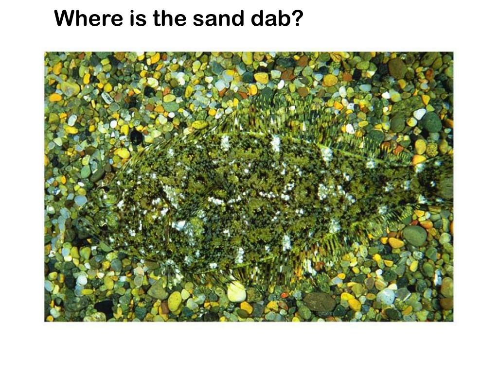 Where is the sand dab?