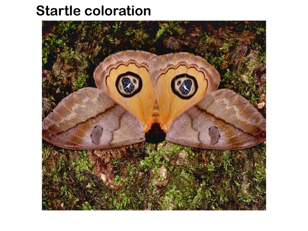 Startle coloration