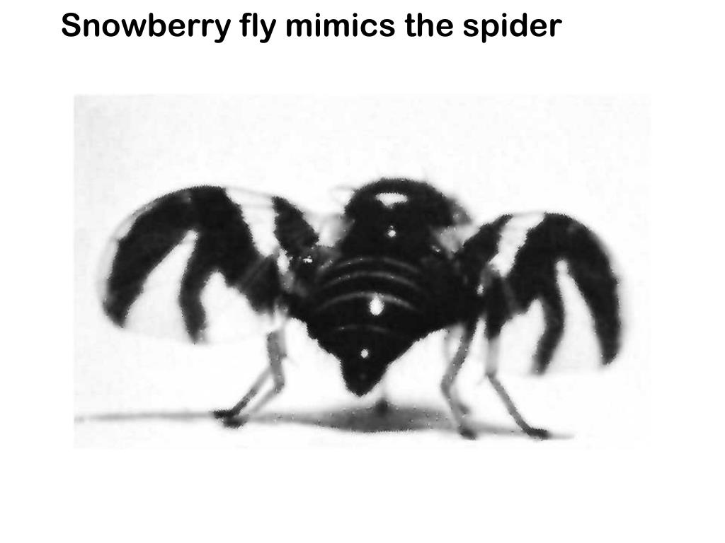 Snowberry fly mimics the spider