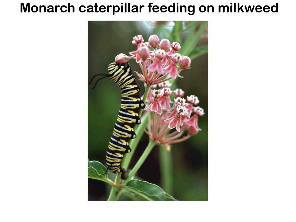 Monarch caterpillar feeding on milkweed