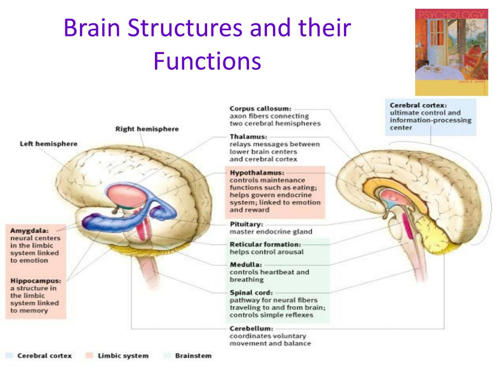 ppt brain structures and their functions powerpoint presentation