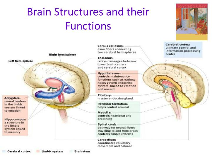PPT - Brain Structures and their Functions PowerPoint ...
