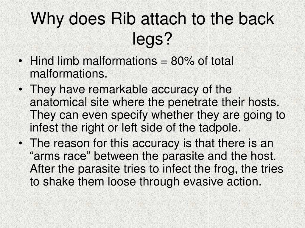 Why does Rib attach to the back legs?
