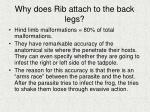 why does rib attach to the back legs
